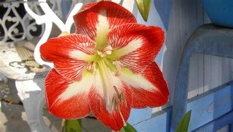 bulbo fiore amarillide il bulbo da fiore decantato gi 224 da virgilio