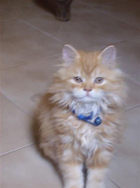 gatti persiani da adottare cercocasa animali da adottare il cannocchiale