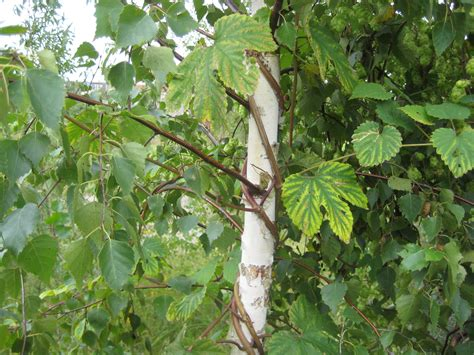 Climbing Vine  Berlin Plants Reading History In The