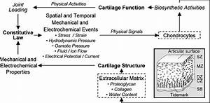 Diagram Of Articular Cartilage Structure And Function