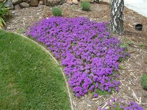 purple flowering perennial ground cover verbena peruviana homestead purple