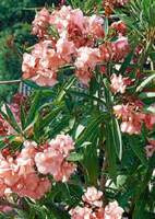 Laurier Rose Entretien : laurier rose conseils de plantation taille entretien ~ Melissatoandfro.com Idées de Décoration
