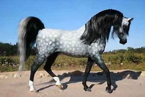 Spinella-Phillips Gallery: Arabians & Half-Arabians