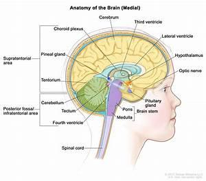 Childhood Brain Stem Glioma Treatment  Pdq U00ae  U2013health Professional Version