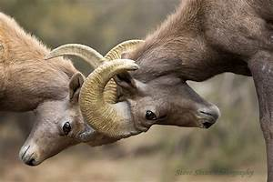 Bighorn sheep rams fighting and butting heads, battle for ...