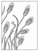 Wheat Coloring Pages Field Drawing Printable Getcolorings Getdrawings sketch template