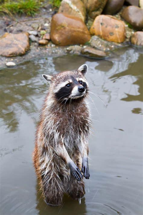 raccoons wash  hands   eat pitara kids network