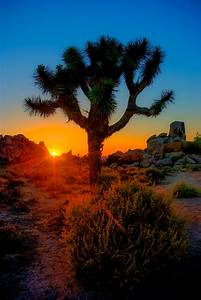 Sunset Amongst Joshua Trees 3 In NYC Photo A Day