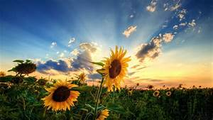 Sunflowers, Sunrise, Sky, Clouds, Wallpapers, Hd, Desktop, And, Mobile, Backgrounds