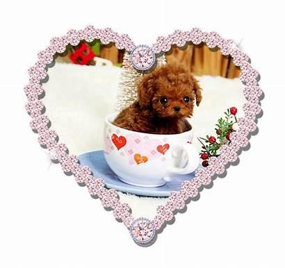 Teacup Dogs Poodle Micro Puppies Pomeranian Dog