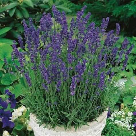 lavender plants buy buy lavender hidcote blue plants unwins seeds