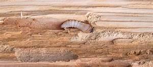 Insecte Qui Mange Le Bois : exterminer le capricorne des maisons destructeur du bois ~ Farleysfitness.com Idées de Décoration