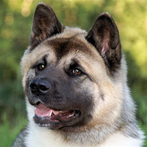 100 do akitas shed bad 100 do american akitas shed shed 2 in 1 10
