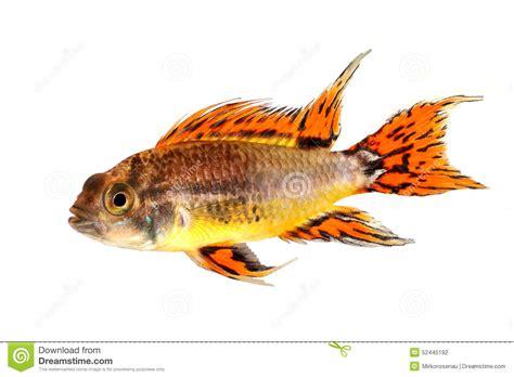 poissons d eau douce d aquarium de cichlid de cacato 232 s de cacatuoides nains d apistogramma d
