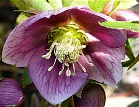 hellebores growing conditions plants and shrubs for d shade