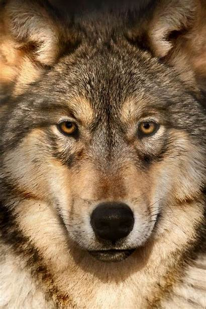 Wolf Face Wolves Grey Animal Eyes Gray