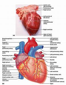 The Cardiovascular System  The Heart  Good Diagrams And