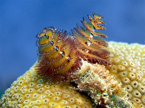 five fast facts about christmas tree worms invertebrates