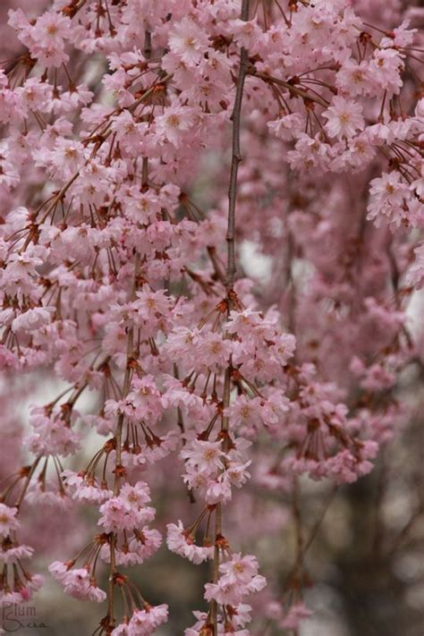do weeping cherry trees produce cherries pinterest the world s catalog of ideas