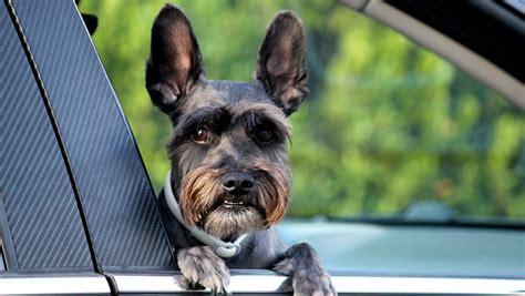 si鑒e auto pour chien astuces pour déménager avec un de compagnie