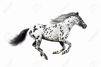 Horse Appaloosa Gallop Clipart Galloping Walk Movements