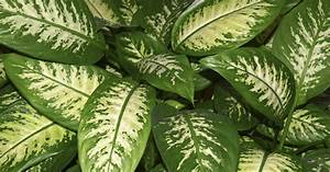 Zimmerpflanze Mit Roten Blättern : attraktive gr npflanzen mein sch ner garten ~ Eleganceandgraceweddings.com Haus und Dekorationen
