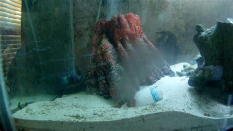 lionfish grouper tail fuzzy dwarf eat