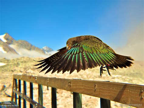 Parrots National Geographic New Zealand Railing Birds