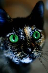 Green eyed calico cat animals   Meow!   Pinterest