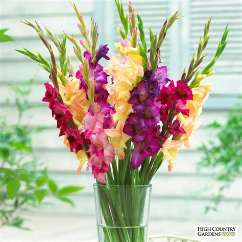 pics of gladiolus gladiolus mardi gras mixture spring planted flower bulbs high country gardens