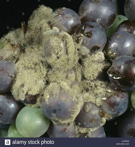 http://www.alamy.com/stock-photo-grey-mould-botrytis-cinerea-on-black-grapes-7514311.html