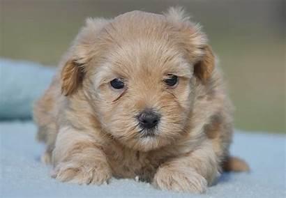 Moodle Puppies Breed Puppy Kennels Designer Chevromist