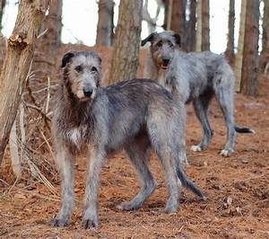 irish wolfhound great dane mix | mix pups white age ...