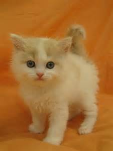 how much do forest cats cost how much does a american wirehair kitten cost many