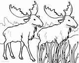 Moose Coloring Pages Elk Printable Drawing Bull Antlers Cool2bkids Cartoon Getdrawings Getcoloringpages sketch template