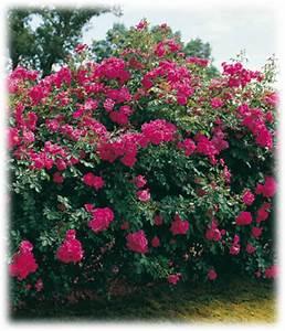 Rosier Grimpant Remontant : garden design rosiers grimpants ~ Melissatoandfro.com Idées de Décoration