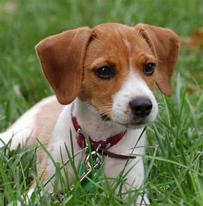 Adopting Beagle Mix Puppies - Dog Breeds Puppies