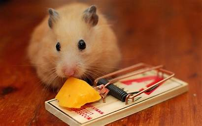 Hamster Mouse Mousetrap Wallpapers Theme Cheese Wall