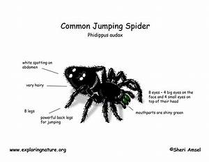 Spider  Common Jumping