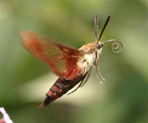 hummingbird moth 301 moved permanently