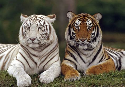 animal tiger pictures  animal picture society