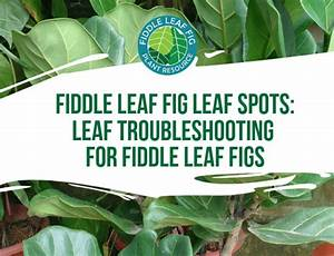 The Ultimate Guide To Fiddle Leaf Fig Insect Problems
