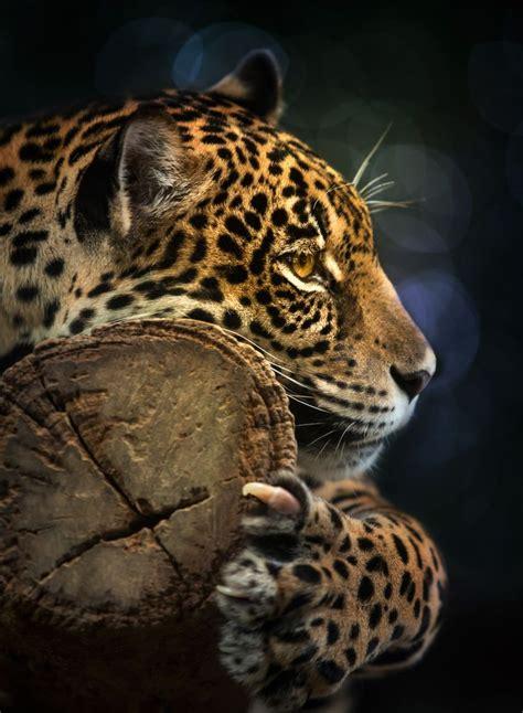coolest jaguar cat 280 best images about awesome cats on