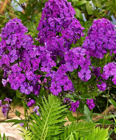 Acquista Phlox