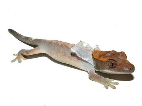 Crested Gecko Shedding Help by Resources Shedding Nvalente1