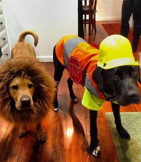 adorable halloween costume ideas  pets