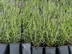 Lavendel Pflanzen Im Topf : pflanzen mit anwachsgarantie lavendel hier g nstig kaufen ~ Frokenaadalensverden.com Haus und Dekorationen