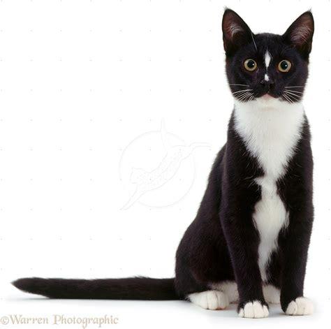 Image 03159 Black And White Cat Sitting White Background
