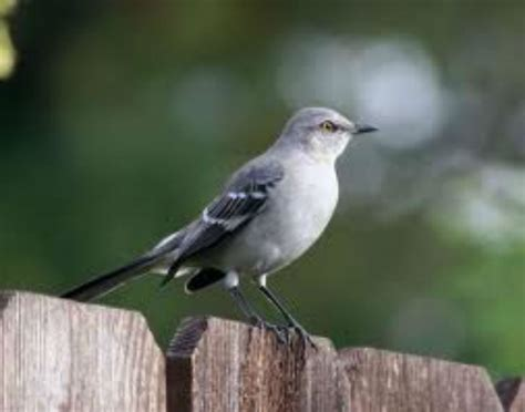 what should texas state bird be fort worth weekly