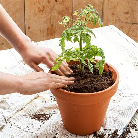 erde für tomaten tomaten s 228 en pflegen ernten und saatgut gewinnen demeter e v